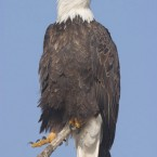 Cascade-Scenic-Bald-Eagle